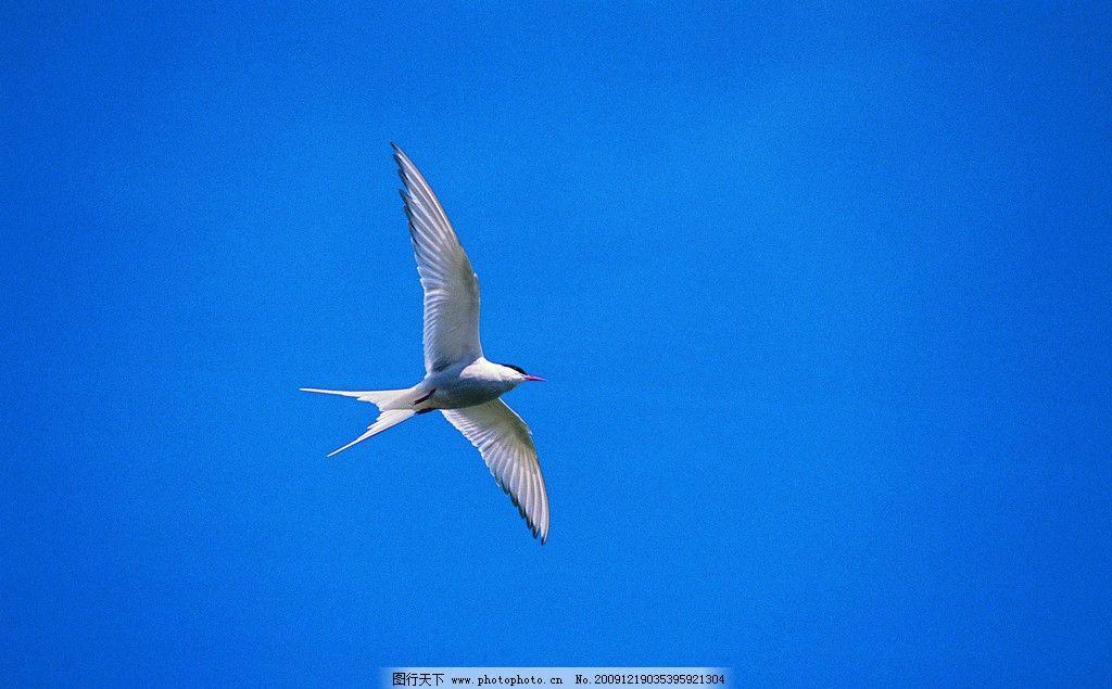 燕子 飞 蓝天 动物世界 野生动物 生物世界 摄影 350dpi jpg