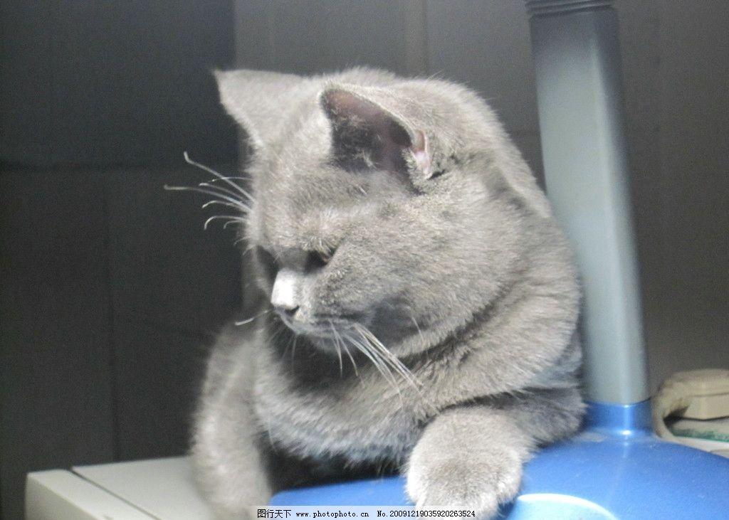 可爱英国短毛猫图片