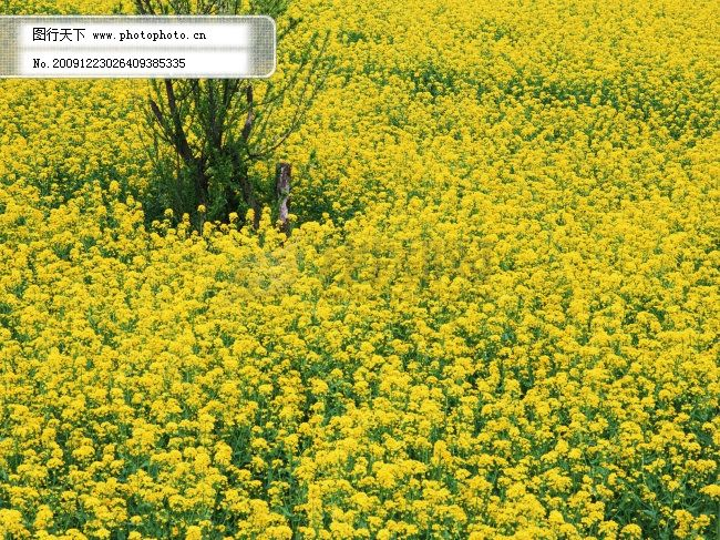 春天 春天风景 稻谷 风景 风景背景 风景画 花瓣 花草 花朵 花卉 油菜