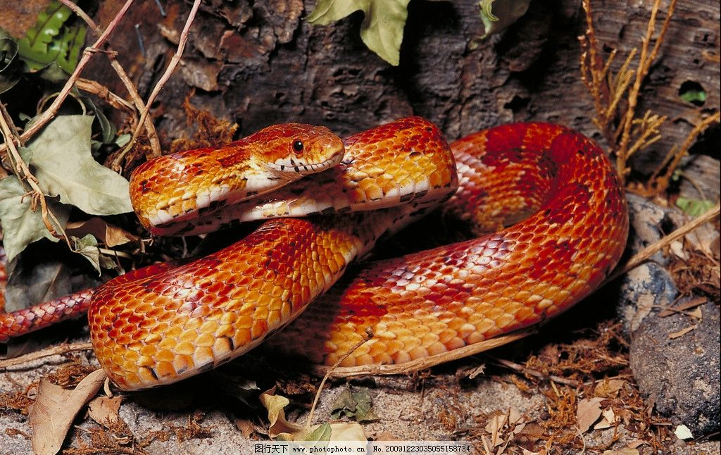 金黄色的蛇 蛇 石头 金黄色 野生动物 生物世界 摄影 350dpi jpg