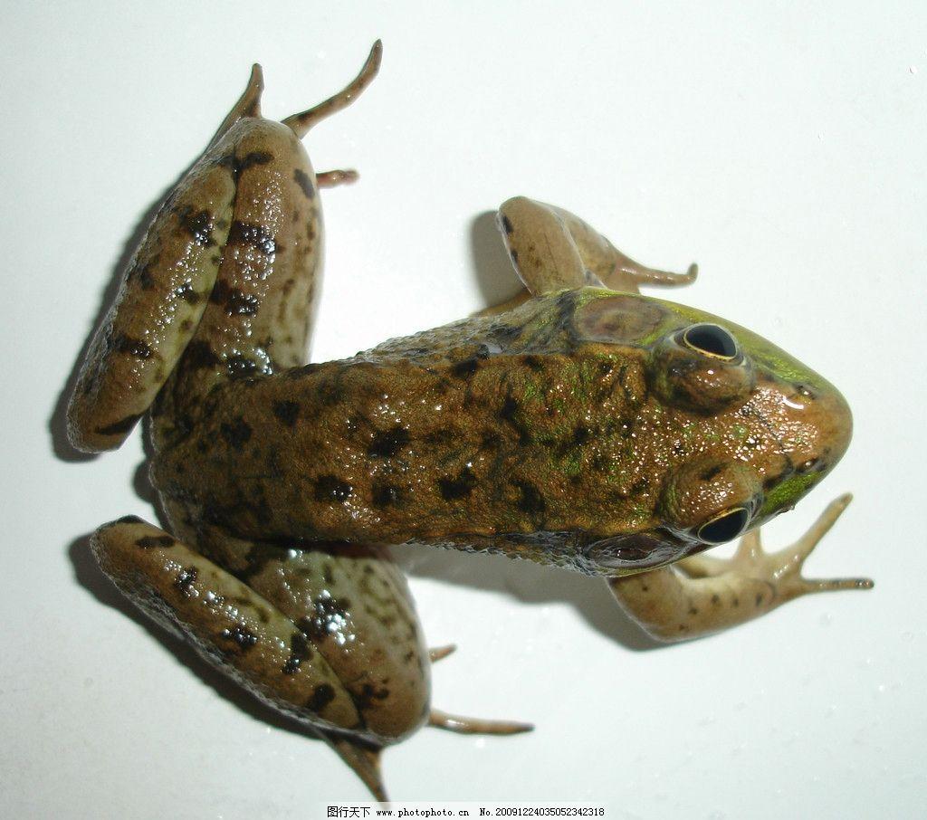 青蛙 爬行动物 表皮肌理 荆棘 野生动物 生物世界 摄影