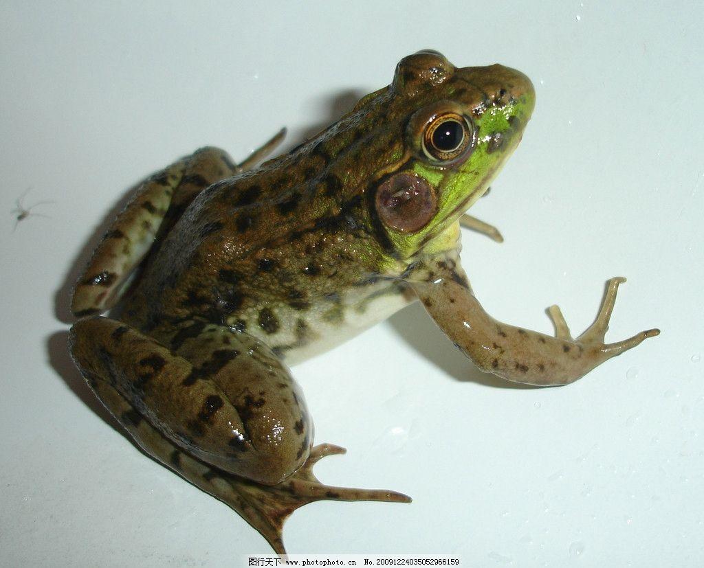 青蛙 爬行动物 表皮肌理 野生动物 生物世界 摄影 72dpi jpg