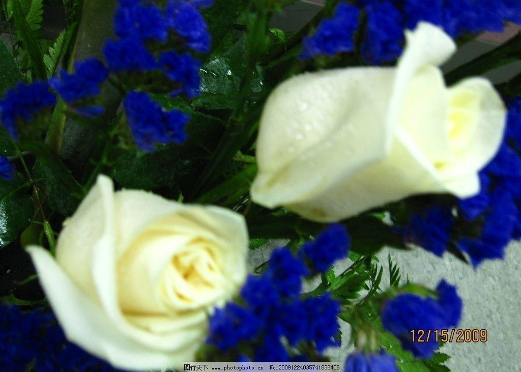 白玫瑰 生物 植物 勿忘我 养花 插花 盆裁 美图 花草 生物世界
