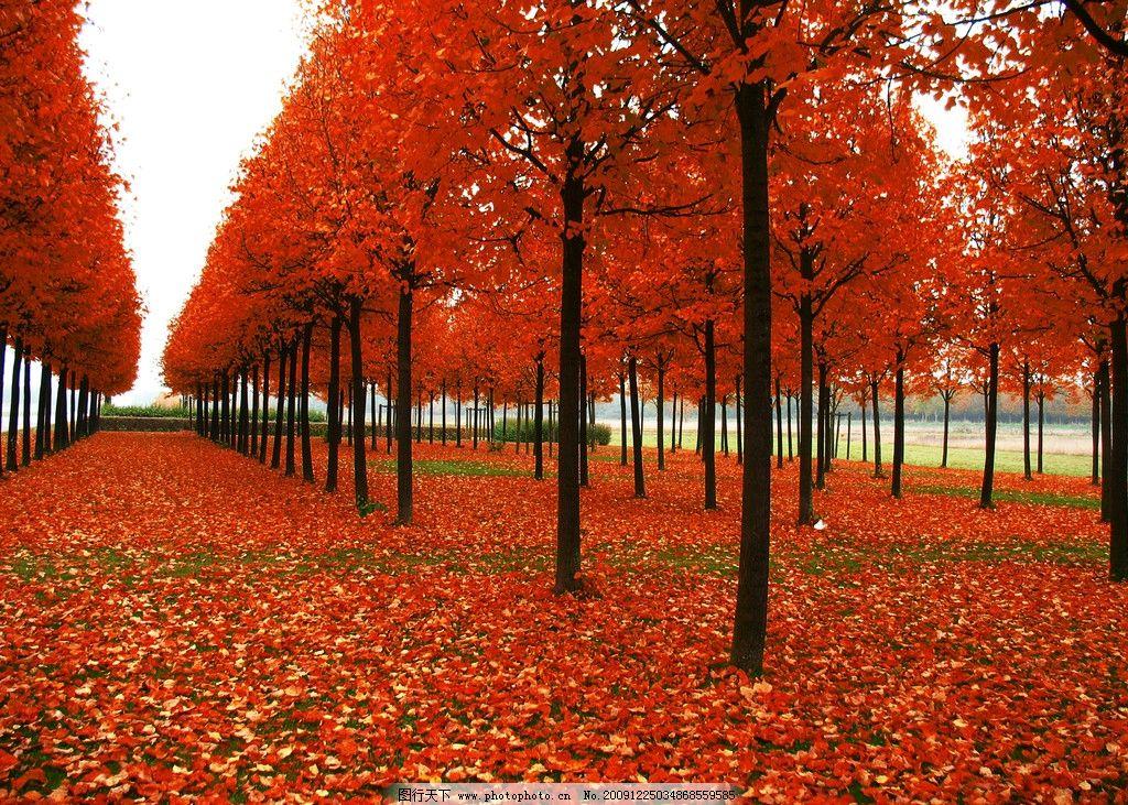 红枫林图片 红色 枫林 枫叶 小路 树林 自然风景 自然景观 摄影 96dpi