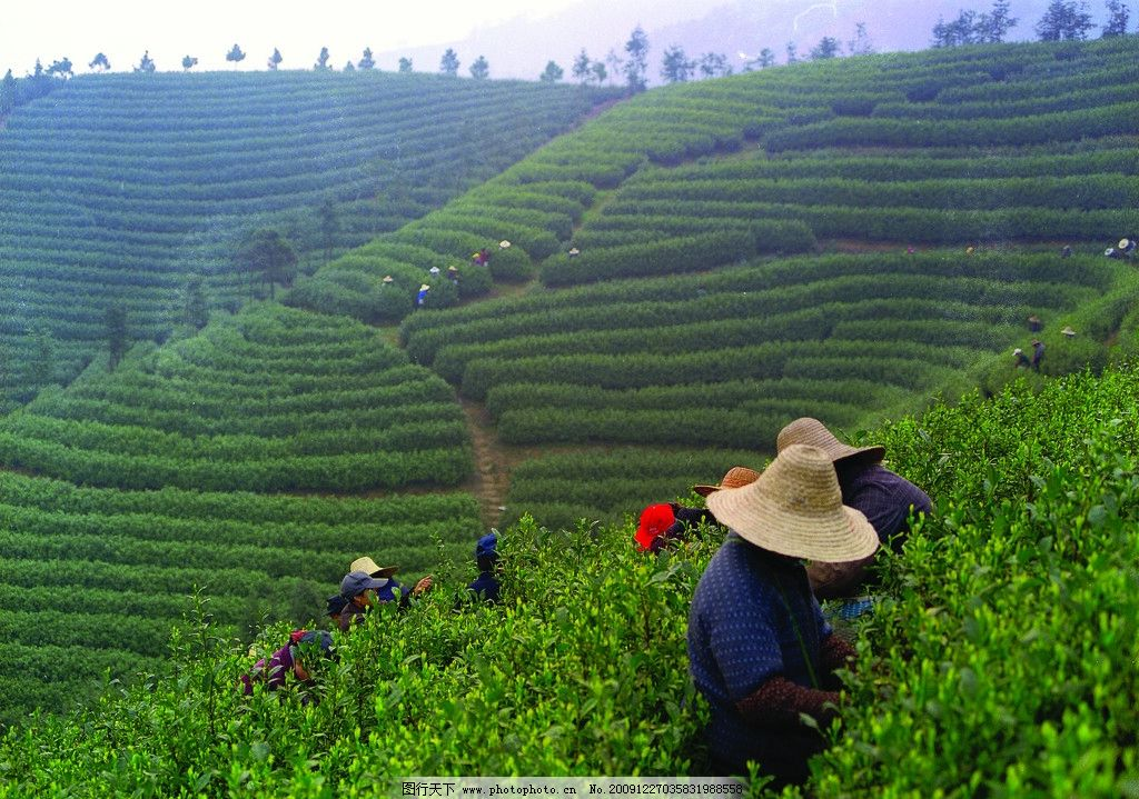 采茶 茶 茶园 白茶 绿茶 嫩芽 叶子 茶树 茶林 背景 特写 风景 茶山
