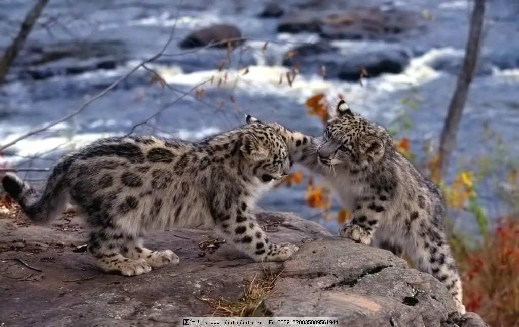 花豹 雪豹 动物宝宝 可爱 老虎 摄影图 家禽家畜 生物世界