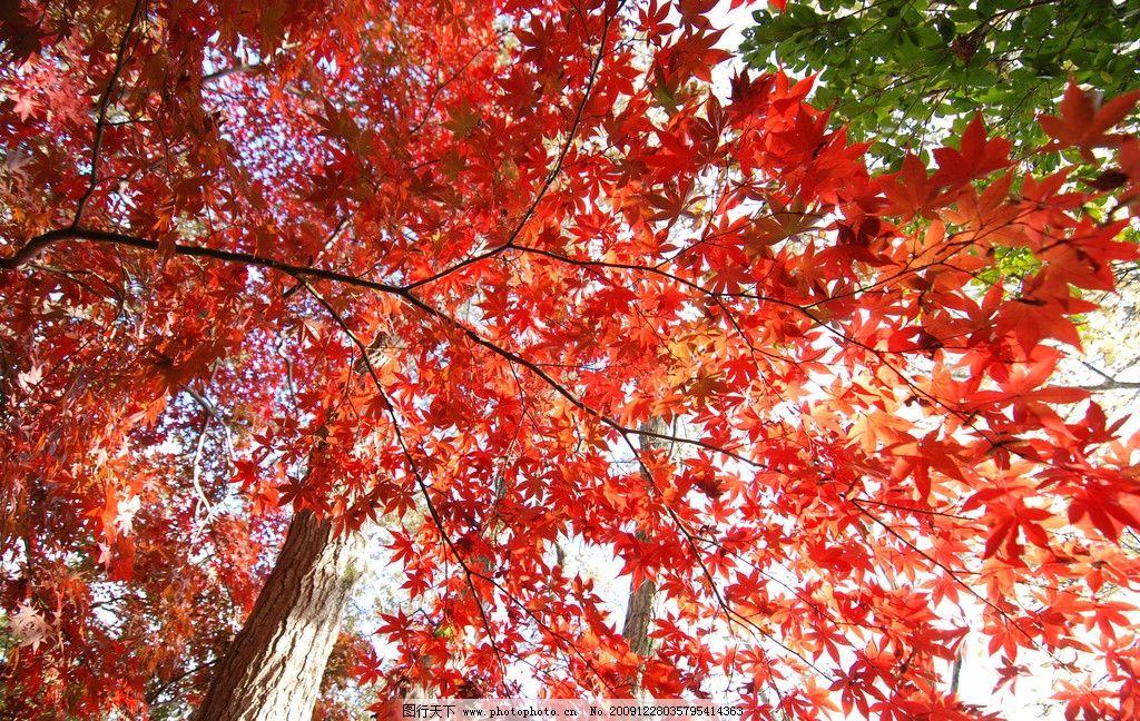 红叶 大自然 景观 景象 生物 植物 田野 田园 花草 花卉 树木 树叶