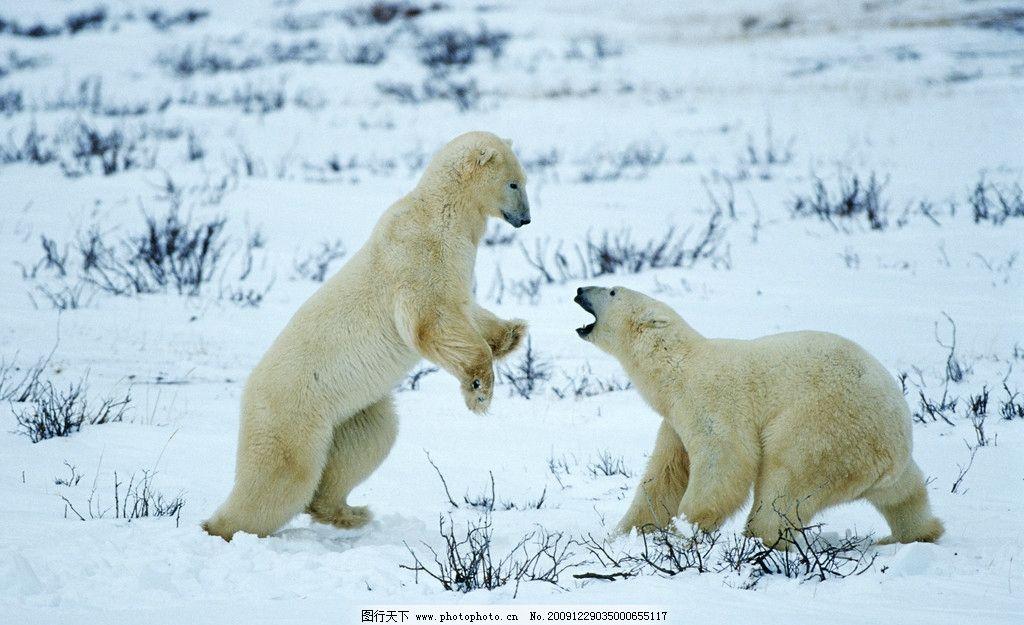北极熊 野生动物 冰天雪地 高清动物图片 高清图片 生物世界 摄影