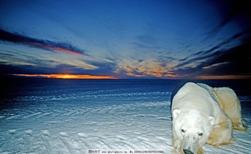 北极熊 野生动物图片